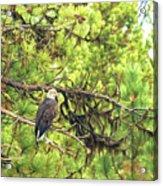 Bald Eagle In A Pine Tree, No. 5 Acrylic Print
