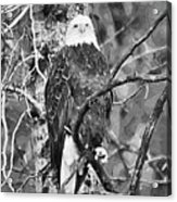 Bald Eagle In Black And White Acrylic Print