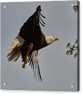 Bald Eagle In Flight 031520168790 Acrylic Print