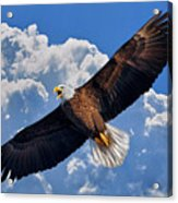Bald Eagle In Flight Calling Out Acrylic Print