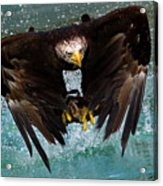 Bald Eagle In Flight Acrylic Print by Dean Bertoncelj