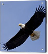 Bald Eagle In Flight Acrylic Print by John Hyde - Printscapes
