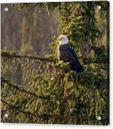Bald Eagle In Pine Acrylic Print