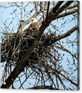 Bald Eagle In The Nest Acrylic Print