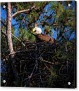 Bald Eagle In The Nest Acrylic Print
