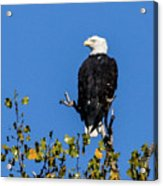 Bald Eagle In The Tree Acrylic Print