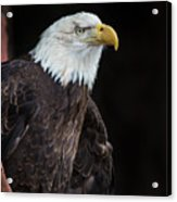 Bald Eagle Intensity Acrylic Print