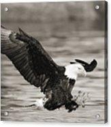 Bald Eagle Landing Acrylic Print