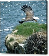 Bald Eagle Leaves Nest Acrylic Print