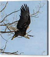 Bald Eagle Makes An Aggressive Dive Acrylic Print