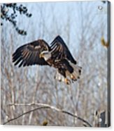 Bald Eagle Near Itasca Acrylic Print