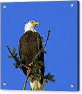 Bald Eagle On Blue Acrylic Print