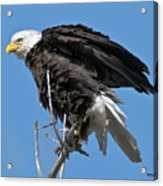 Bald Eagle On Cottonwood Tree Branches Acrylic Print