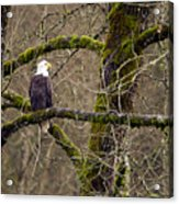 Bald Eagle On Mossy Branch Acrylic Print