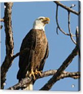 Bald Eagle On Pine Island Acrylic Print