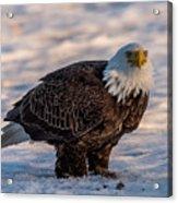 Bald Eagle Over Its Prey Acrylic Print