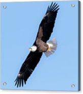 Bald Eagle Overhead  Acrylic Print