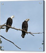 Bald Eagle Perch Acrylic Print