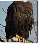 Bald Eagle Perched On Branch On A Windy Day Acrylic Print