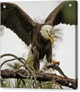 Bald Eagle Picking Up Fish Acrylic Print