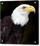 Bald Eagle - Pnw Acrylic Print