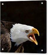 Bald Eagle Portrait 2 Acrylic Print