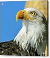 Bald Eagle Profile 4 Acrylic Print