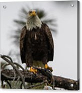 Bald Eagle Protecting His Fish Acrylic Print