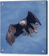 Bald Eagle Ready For A Treat Of Interest Acrylic Print