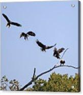 Bald Eagle Sequence  1277 Acrylic Print