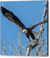 Bald Eagle Shows Its Focus Acrylic Print