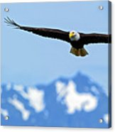 Bald Eagle Soars Over Hood Canal Acrylic Print