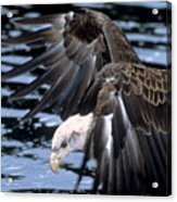Bald Eagle Strikes Acrylic Print