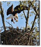 Bald Eagle Taking Fish To Nest 031520169678 Acrylic Print