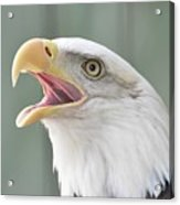 Bald Eagle Talking Acrylic Print
