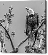 Bald Eagle Warning In Black And White Acrylic Print