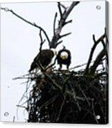 Bald Eagles Along The Delaware River Acrylic Print