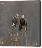 Bald Eagles Balancing Acrylic Print