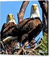 Bald Eagles In Nest Acrylic Print