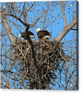 Bald Eagles Working On The Nest   3682 Acrylic Print