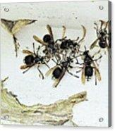 Bald Faced Hornets Acrylic Print