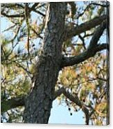 Bald Head Tree Acrylic Print