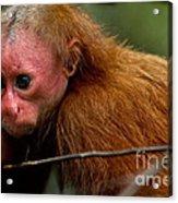 Bald Uakari Monkey Acrylic Print