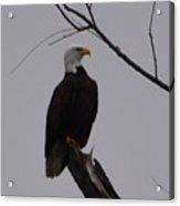 Bald Eagle 2 Acrylic Print