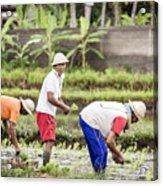 Bali Farming Acrylic Print