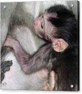 Balinese Baby Monkey Feeding Acrylic Print