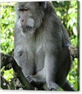Balinese Monkey In Tree Acrylic Print
