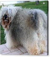 ball of fur Havanese dog Acrylic Print