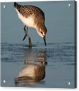 Ballet Feeding Of A Sanderling Acrylic Print