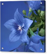 Balloon Flowers - Blooms And Buds Acrylic Print